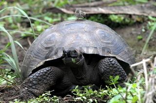 Galapagos Schildkröte auf Nahrungssuche