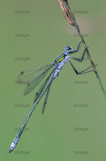 Emerald Damselfly is a species of still water  -  (Photo male) / Lestes sponsa
