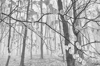 Beech forest in fog, Ore mountains, Bohemia, Czech Republic