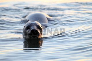 Kegelrobbe im Wasser Helgoland