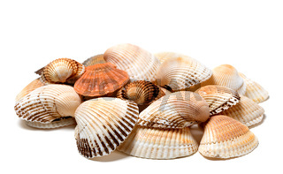 Seashells of anadara and scallop