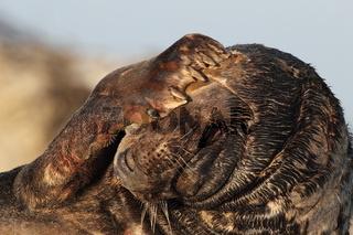 Kegelrobbe Bulle Helgoland
