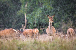 Red deer, Cervis elaphus, female standing in the rain, with a herd and forest in the background