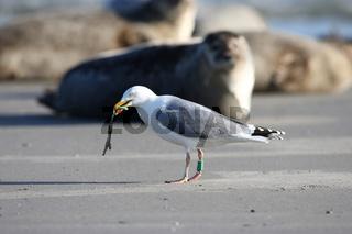 Silbermoewe am Strand Helgoland
