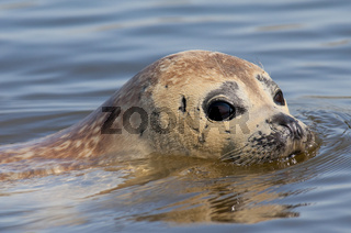 Seehund (Phoca vitulina) - European Common Seal-