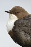 White throated Dipper * Cinclus cinclus *, close-up, headshot