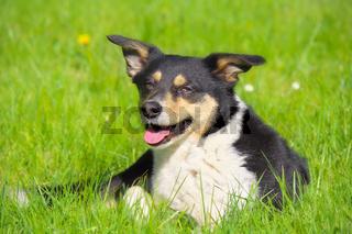 Australien Shepherd Jack Russell Terrier Mix