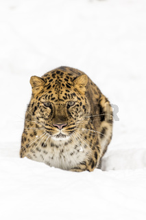 Amur Leopard In The Snow