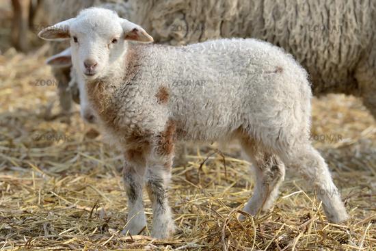 newborn lambs on the farm