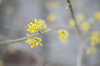 Blossom of cornel cherry, Germany
