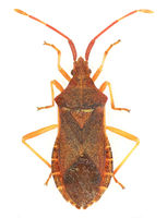 Box Bug on white Background  -  Gonocerus acuteangulatus (Goeze, 1778)