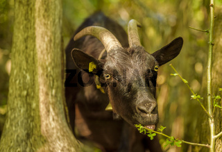 Domestic goat eating leaves