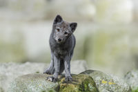 Arctic fox, Vulpes lagopus, Polarfuchs