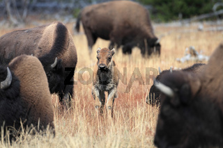 Bisonkalb Yellowstone NP USA