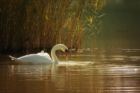 Swan on a lake