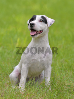 Typical Parson Russell Terrier in the  garden