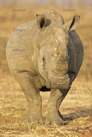 White Rhinoceros or Square-lipped rhinoceros, Krueger NAtional Park, South Africa
