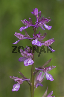 Schmetterlings-Knabenkraut, Orchis papilionacea, Orchis