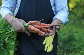 gardener man holding carrot harvest in a hand