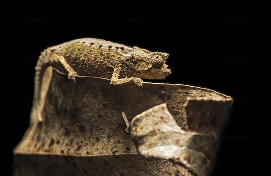 Chameleon Brookesia superciliaris (Chameleonidae), Anjozorobe National Park, Madagascar