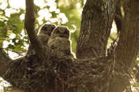 watching... Eurasian Eagle Owl *Bubo bubo*, owlets in their elevated nest in a tree