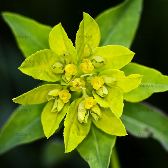 Cushion Spurge (Euphorbia epithymoides)