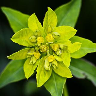 Vielfarbige Wolfsmilch (Euphorbia epithymoides)