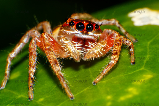 Jumping spider sitting on green leaf