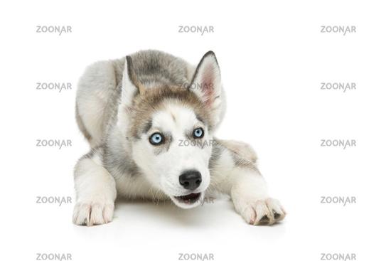 Cute husky puppy dog