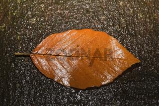 Leaf of a beech (Fagus) in autumn on a beech trunk