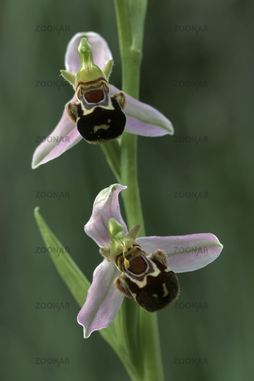 Bee orchid [Ophrys apifera]