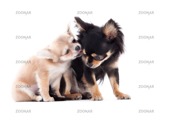 2 chihuahua dogs are caring