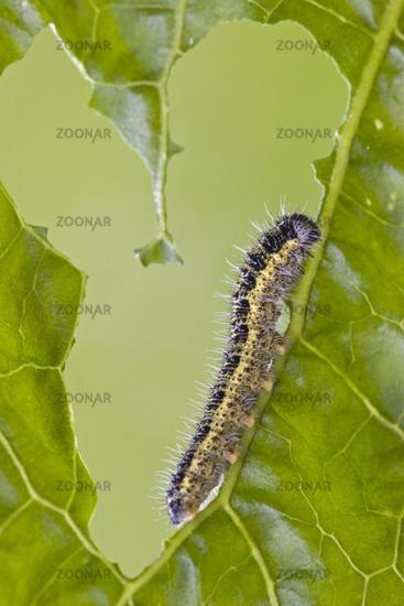 Caterpillar from Large white butterfly (Pieris bra