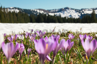 Field of wild purple crocuses. Snow covered mountains in background.