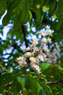 A flower of white chestnut blossomed on a green branch in spring