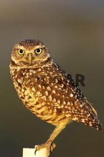 Kaninchenkauz - Athene cunicularia - Burrowing Owl
