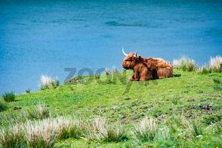 One scottish bull
