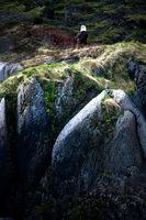 Bald Eagle on Rock Near Seward Alaska