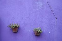 lilac wall and two flower pots