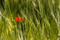 Single Poppy in a field
