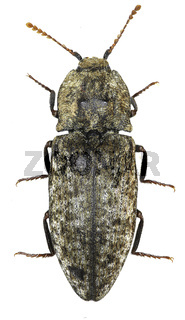Mousegrey Click Beetle on white Background  -  Agrypnus murina (Linnaeus, 1758)