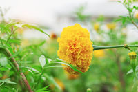 Marigold with beautiful of nature.