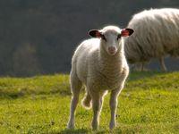 Lamm mit Heiligenschein