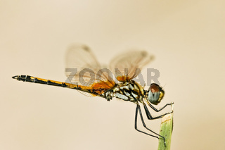 Afrikanische Libelle, Namibia, Afrika, african dragon fly in africa
