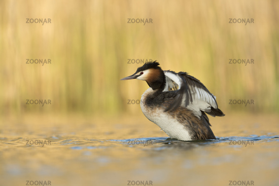in last sunlight... Great Crested Grebe *Podiceps cristatus*