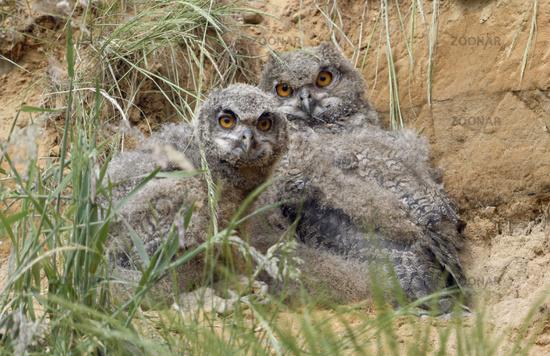 funny siblings... Eurasian Eagle Owl *Bubo bubo*