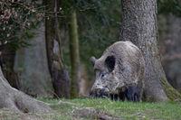 Wild boar (Sus scrofa), tusker, Schleswig Holstein, Germany, Europe