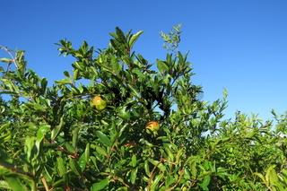 Pomegranate tree (garnet tree)
