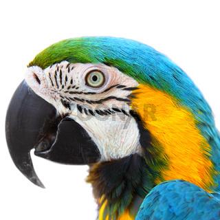 Parrot Macaw close-up