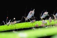 plant lice 2